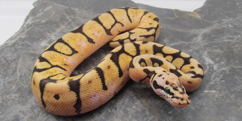 Reptile Sitter -- Minnetonka