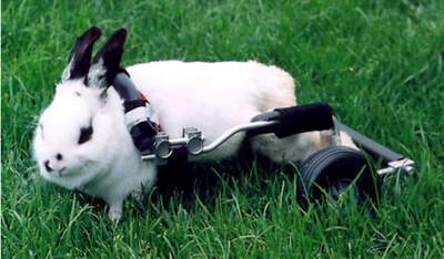 Bunny in Wheelchair